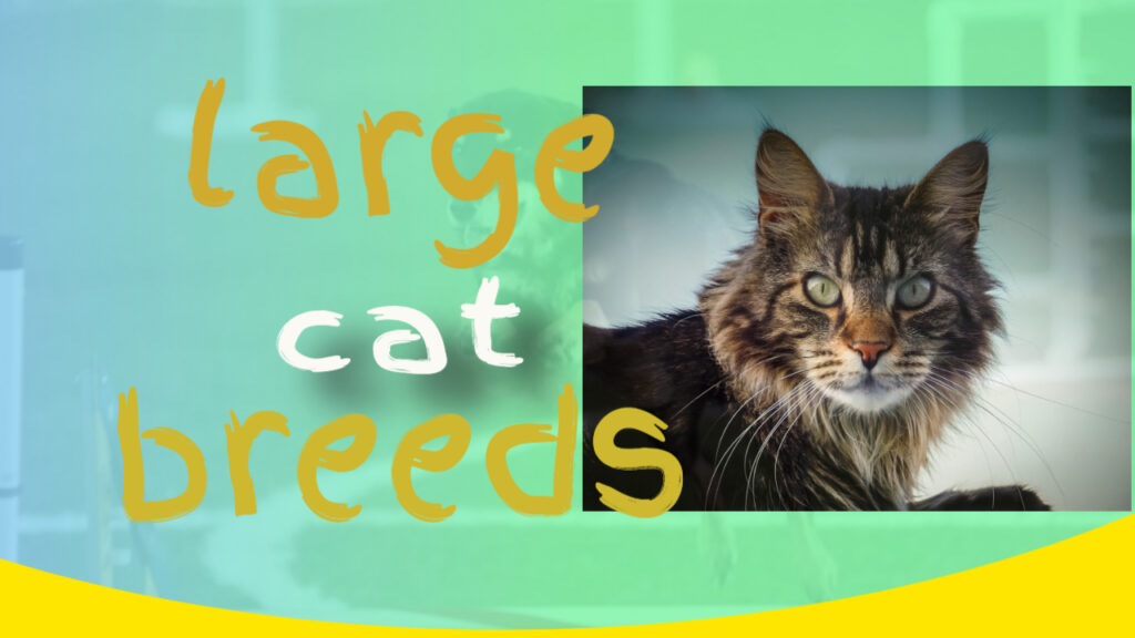 picture maine coon large cat breeds