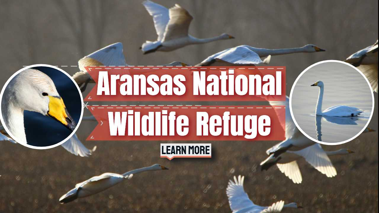 "Featured image text: ""Aransas Wildlife Refuge""."